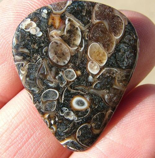 Turitella Agate Fossil