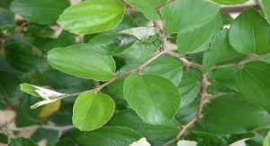 Ber Leaves